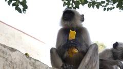 Monkey eating banana in Jaipur, India. Stock Footage