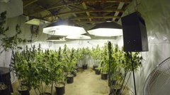 Steadicam Motion Through Marijuana Plants with Buds at Indoor Cannabis Farm Stock Footage