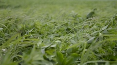 Close up of Alfalfa (Medicago sativa) field. Lucerne and meadow grass Stock Footage