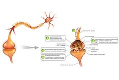 Neurons and closeup of synapse Stock Illustration