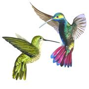 Sky bird colibri in a wildlife by watercolor style isolated Stock Illustration