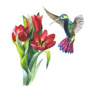Wildflower flower tulip and colibri bird in a watercolor style isolated Stock Illustration