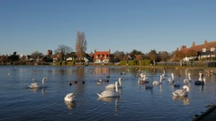 Swans and Wildlife Swimming on Thorpeness Meare Stock Footage