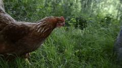 Hens feed on the traditional rural barnyard. Close up of chicken Stock Footage