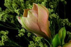 Pastel amaryllis Stock Photos