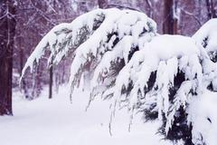 Arbor vitae branches covered with snow Stock Photos