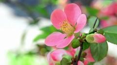 Sakura flower bloom Stock Footage