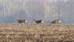 Beautiful roe deers during autumn morning,  Stock Footage
