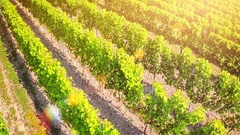 Aerial view of vineyard at summer day. Agricultural background with vineyard Stock Footage