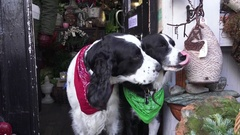 Christmas Dogs Stock Footage