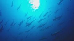 Pack of sharks underwater hammerhead Stock Footage