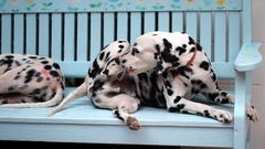 Dalmatian dog resting on chair Stock Footage