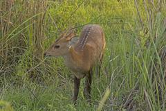 Young Hog Deer in the Grasses Stock Photos