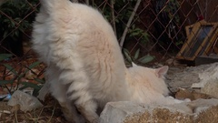 White cat stretches itself Stock Footage