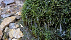 Clear water drops dripping on the green moss Stock Footage