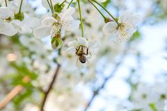 Bee collects nectar and pollen on a blossoming cherry tree branch. Stock Photos