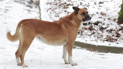 Shot of a red dog on snow. Stock Footage