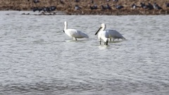 Spoonbills hunting in water Stock Footage