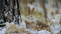 Squirrel red winter forest on background wild nature animal Stock Footage