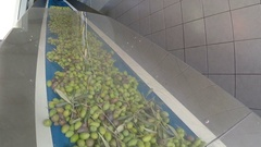 Conveyor belt with ripe olives on olive oil factory Stock Footage