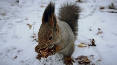 Squirrel red eating nuts winter forest on background wild nature animal Stock Footage