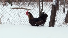 Black chicken walking on snow along the fence. Winter day Stock Footage