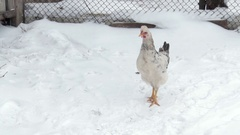 The hen walks through the snow in the yard. Winter day Stock Footage
