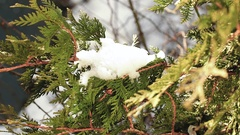 Green conifer tree covered with snow dancing on the wind during winter. Stock Footage