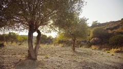 4K Video footage of Olive tree plantation in greece Stock Footage