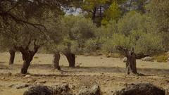 Olive tree plantation, Rhodes, Greece Stock Footage