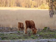 Scottish highlander with calf, 4K Stock Footage