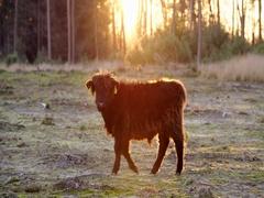 Scottish highlander calf at beautiful sunset Stock Footage