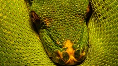 Morelia viridis, commonly known as the green tree python  Stock Footage