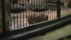 Happy Family Looking At Leopard During Visit In Zoo Stock Footage
