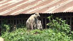 Two Hanuman monkey eating the large leaves of plant bindweed Stock Footage