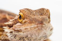 One agama bearded on the white background Stock Photos