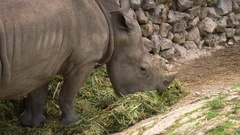 White Rhino Eating Grass In Zoo Wild Animal In Cage Stock Footage