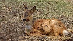 The European roe deer (Capreolus capreolus) Stock Footage
