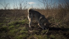 An eskimo dog digging a hole in the field Stock Footage