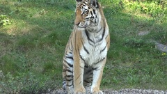 4k Tiger very close up stand up at pool shake paws walking in grassland Stock Footage