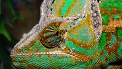 The veiled chameleon, cone-head (Chamaeleo calyptratus) Stock Footage
