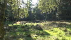 4k Elk - Moose male and female zoom hidden in sunny marshland forest landscape Stock Footage