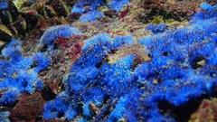 Marine sponge Disidea fragilis, Black Sea Stock Footage