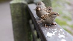 Flock of nimble sparrows jumping on the railing and eats the bread crumbs Stock Footage