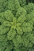 An Abundance of Green Curly Kale Stock Photos