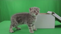 Beautiful little kitten Scottish Fold in box on Green Screen Stock Footage
