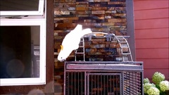A white male parrot, Sulphur Crested Cockatoo, walking on cage. Stock Footage