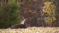 Young four point buck laying on hill relaxing autumn Stock Footage