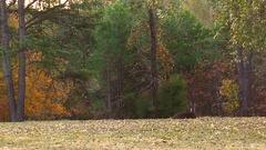 Young buck lies in autumn meadow doe hidden Stock Footage