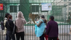 People watching a manchurian tiger walking in a cage Stock Footage